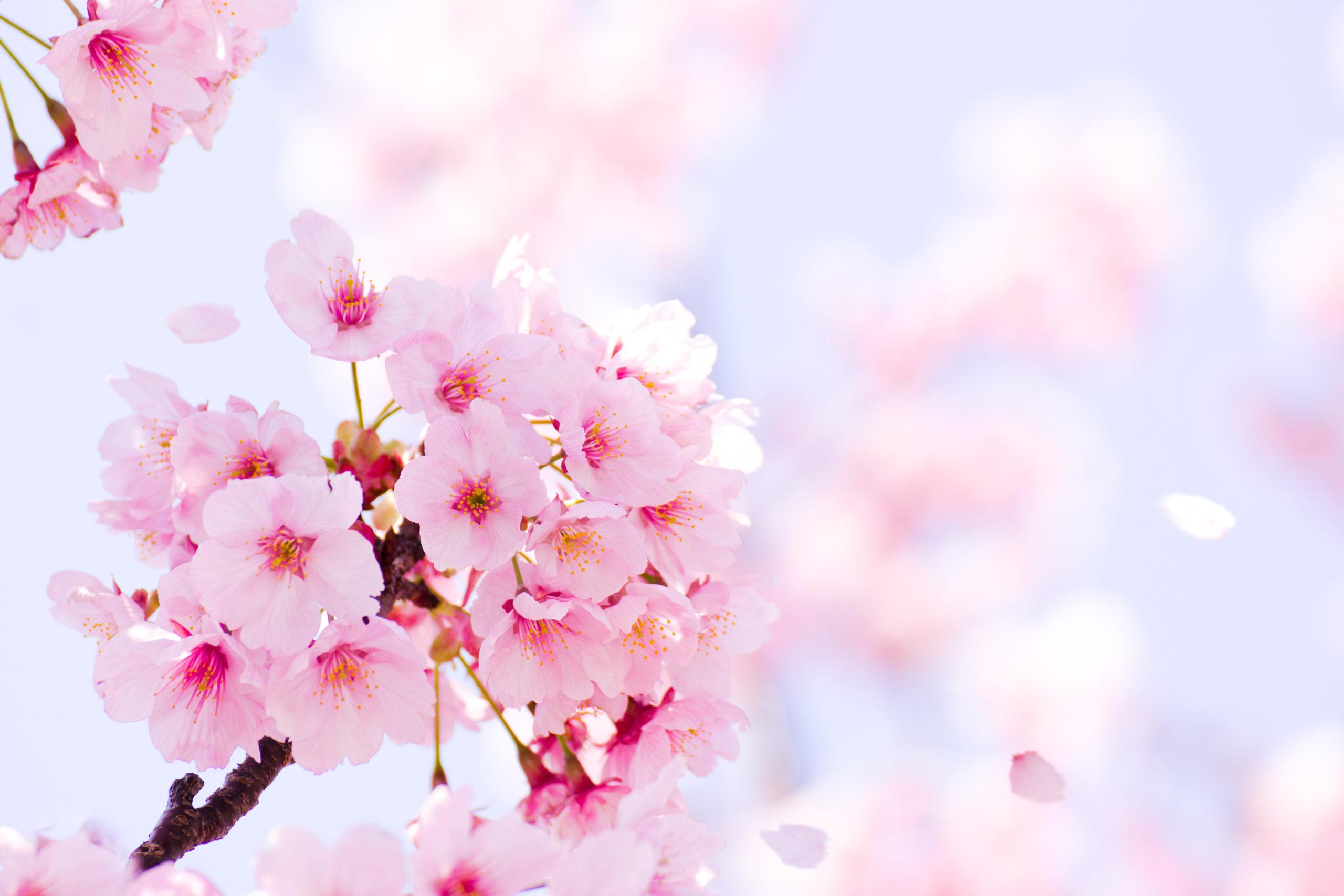 桜が開花しましたね!